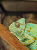 Green chameleon — Foto Stock
