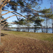 Pine on the bank of lake — Stock Photo