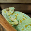 Green chameleon — Stock Photo #32241695