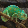 Green chameleon — Stock Photo #32242023