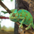 Green chameleon — Stock Photo #32242195