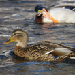 Duck on the river in winter — Stockfoto