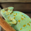 Green chameleon — Stockfoto