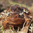 Frogs — Stock Photo