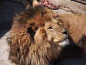 Portrait of a male lion — Stock Photo