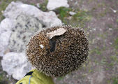 Hedgehog on his arm — Foto Stock