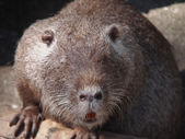 Portrait of a nutria — Stockfoto