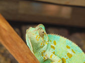 Green chameleon — Photo