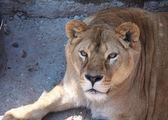 Portret van een vrouwelijke leeuw — Stockfoto