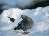 Pigeon on a snow — Stock Photo
