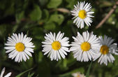Chamomile flowers on the green grass — Stock Photo