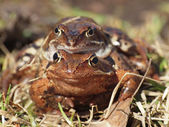 Frogs — Foto de Stock