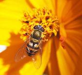 上一朵花飞 hoverfly — 图库照片