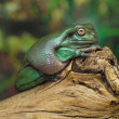 Stock Photo: White's Dumpy Tree Frog on a branch