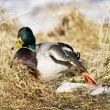 Duck in the grass in spring — Stock Photo