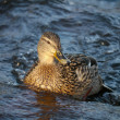 Duck on the river in winter — Foto Stock