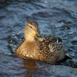 Duck on the river in winter — Stock fotografie
