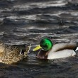 Duck on the river in winter — Stock Photo