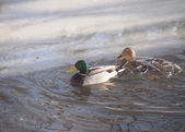 Diving duck by the ice — Stock Photo