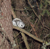 Very rate animal - Flying squirrel (Pteromys volans) — Stock Photo