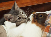 Guinea pig and cat — Stock Photo