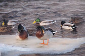 Ducks on the river in winter — Stockfoto