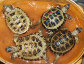 Schildpadden — Stockfoto