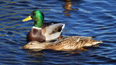 Duck on the lake — Stock fotografie