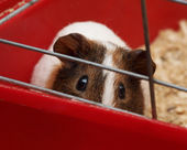 Guinea pig — Photo