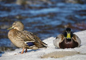 Duck on the river in winter — Foto de Stock