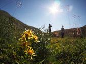 золотарник обыкновенный в горах — Стоковое фото