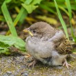 Stock Photo: Nestling sparrow