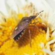 Forest bug on a flower — Stock Photo