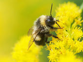 Bumblebee on a yellow flower — Stock Photo
