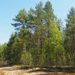 Stock Photo: Forest in summer