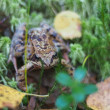 Foto Stock: Frog in grass