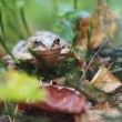 Frog in the grass — Stock Photo #39182053