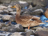 Portrait of duck — Stock Photo