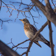 Stock Photo: Thrush in forest