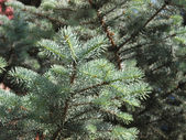 Silver fir branch — Stock Photo