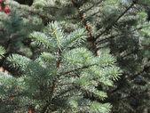 Branche de sapin argenté — Photo