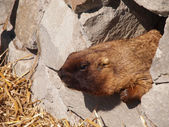 Animal marmot — Stock Photo