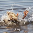 Stock Photo: Duck swims in lake