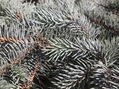 Silver fir branch  — Stock fotografie
