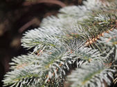 Silver fir branch  — Fotografia Stock