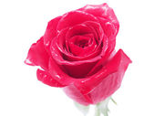 Rose on a white background — Stock Photo