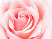 Detail of rose close — Stock Photo