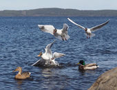 Gulls and duck in fight for food — Stock Photo