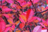 Aronia autumn leaves — Fotografia Stock
