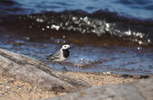 Wagtail on the lake — Fotografia Stock